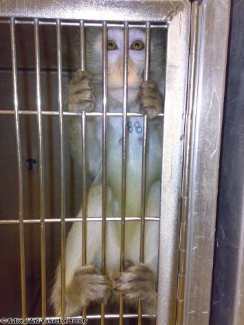 NAVS Huntingdon macaque 03