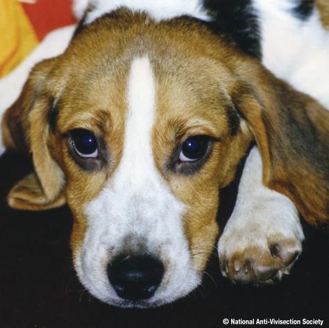 NAVS rescued beagle 500
